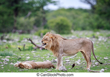 Male Lion doing a flehmen grimace.