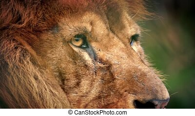 Male Lion Face Looking Around