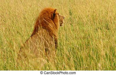 Male Lion Gazing