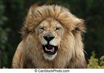 Male Lion Grimace