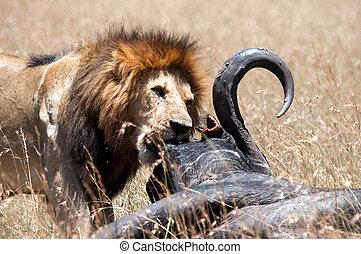 Male lion & his prey