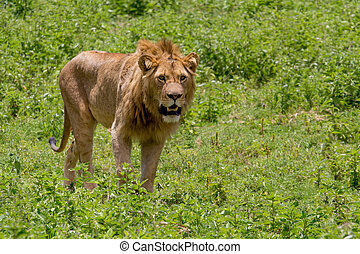Male Lion in Grassland - Male Lion with Open Mouth in Green...