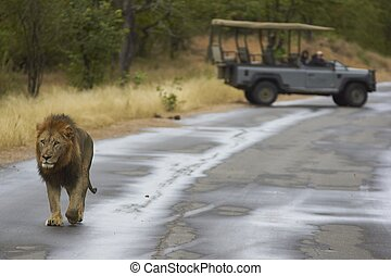 Male Lion in Kruger National Park - Male African Lion (...