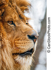 Male Lion in Profile