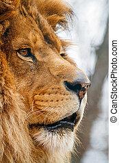 Male Lion in Profile