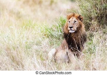 Male lion in the grasses of the Masai Mara