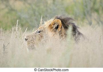 Male lion in the Kalahari 2