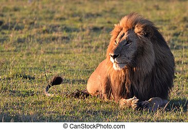Male Lion in the Serengeti