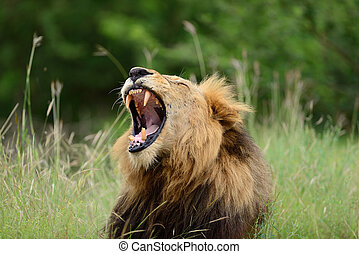 Male lion in the wilderness