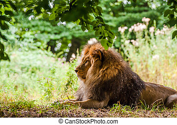 Male lion laying in a forest