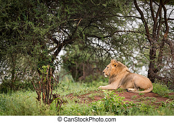 Male lion lying on mound in profile