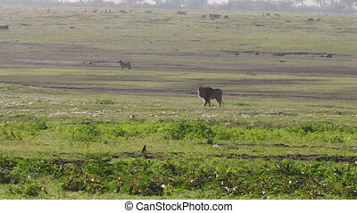 male lion of the Ngorongoro Crater - African lion of the...