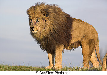 male lion with mane on the lookout