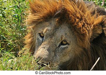 Lion on the Serengeti - Male Lion on the Serengeti plains of...