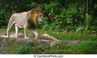 Video 4k - Solitary, male lion paces slowly over the rocks in his habitat enclosure at a zoo, with natural greenery in the background.