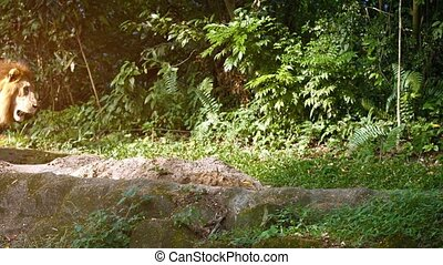 Video 2160p - Solitary, male lion passes over the rocks in his habitat enclosure at a zoo, with natural trees and plants in the background.