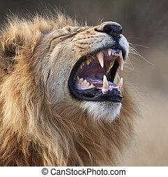 Male Lion - Savuti region of Botswana