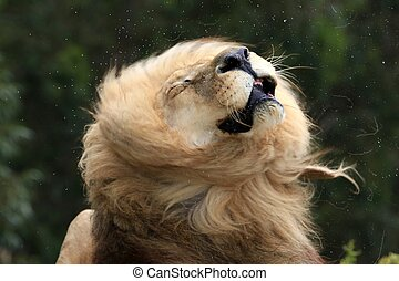 Huge male lion with big mane shaking his head and saliva spraying
