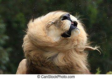 Male Lion Shaking Fur