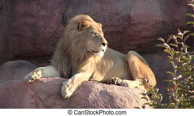 Male Lion Sitting on Rock
