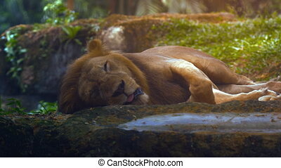 Male Lion Sleeps in the Shade at the Zoo. FullHD video