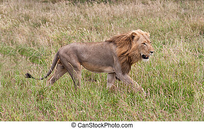 Male lion staling his prey