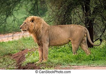 Male lion standing beside road in profile