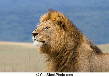 Male lion - A close up of a large male lion in the...