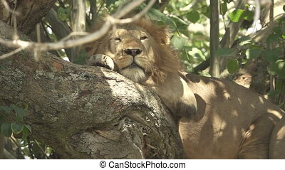 Male lion taking a nap over tree, flat color - Closeup of...
