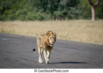 Male Lion walking on the road.