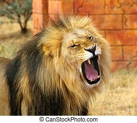 Male lion yarning.