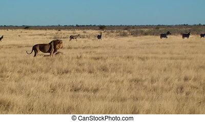 Male lion yawn walk sit zebras back