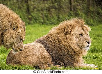 Male lions
