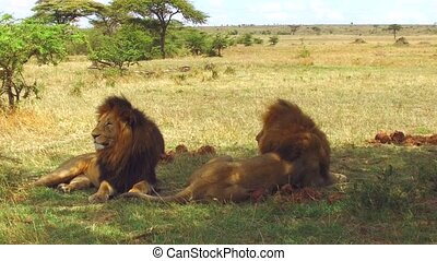 male lions resting in savanna at africa