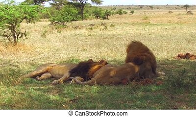 animal, nature and wildlife concept - male lions resting in maasai mara national reserve savanna at africa