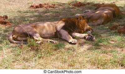male lions sleeping in savanna at africa