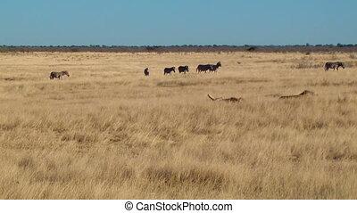 Male lions zebras background Etosha
