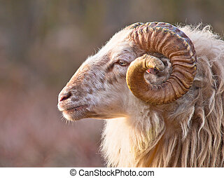 Male long-tailed sheep portrait sideview