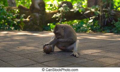 Male macaque monkey try to crash a coconut.