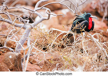 Male magnificent frigatebird at Galapagos Island of North...