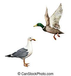 Male Mallard Duck Flying, white bird seagull isolated on white