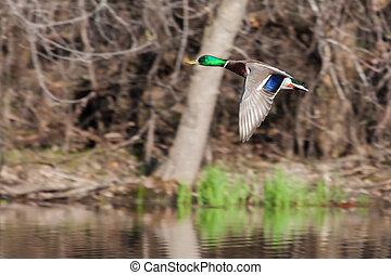 Male Mallard in flight - Mallard in flight with trees in the...