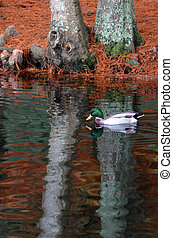 Male Mallard wild duck swim in a pond