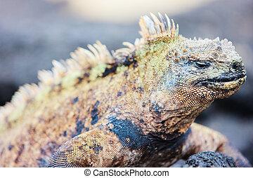 Male marine iguana
