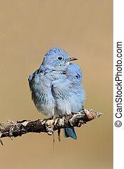 Male Mountain Bluebird (Sialia currucoides) in Grand Tetons...