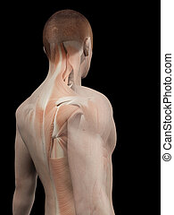 Male muscle system - back muscles - medical 3d illustration...