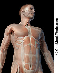 Male muscle system - upper body