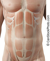 Male muscles - Medical illustration of the male abdominal...