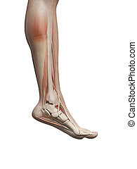 Male muscles - Medical illustration of the male leg muscles