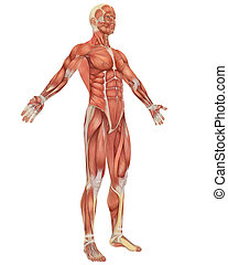 A illustration of the angled front view of the male muscular anatomy. Very educational and detailed.